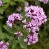 3 ароматни билки за вашата градина за готвене и чай