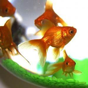2goldfish - Да живеем в съюз с фън шуй