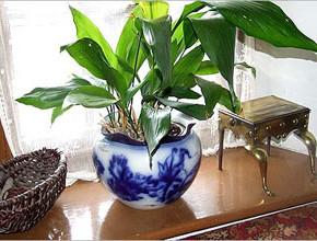 1aspidistra 290x220 - 8 от най-непретенциозните стайни растения