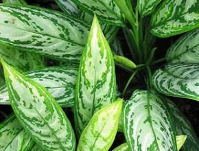 aglaonema 290x220 - Стайните растения и добрият сън...