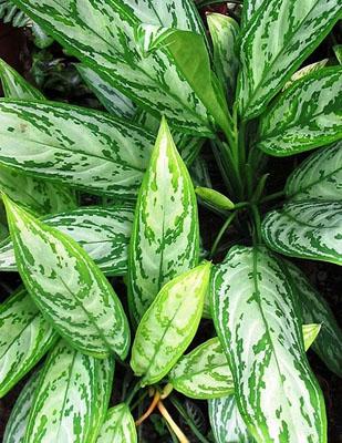 aglaonema - Стайните растения и добрият сън...