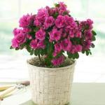 1azalia 150x150 - За да е свеж въздухът в дома ви...