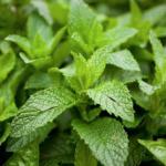 01menta 150x150 - 3 ароматни билки за вашата градина за готвене и чай