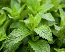 01menta 278x220 - 3 ароматни билки за вашата градина за готвене и чай