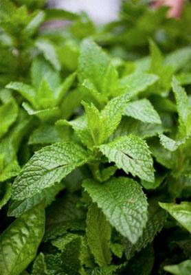 01menta - 3 ароматни билки за вашата градина за готвене и чай