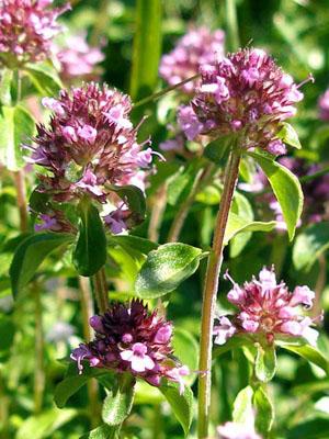 02mashterka - 3 ароматни билки за вашата градина за готвене и чай