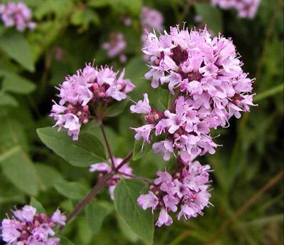 03rigan - 3 ароматни билки за вашата градина за готвене и чай