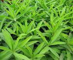 01pt 150x123 - Най-полезните пролетни треви на нашата трапеза