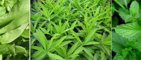 01pt 290x123 - Най-полезните пролетни треви на нашата трапеза